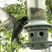 Fledgling fighting for a spot on the feeder