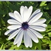 Just One White African Daisy ~