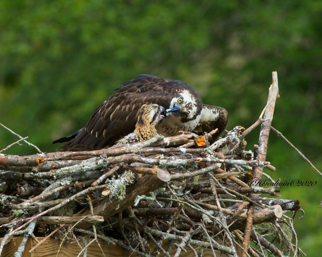 LHG-6635- Osprey Feeding her young by rontu