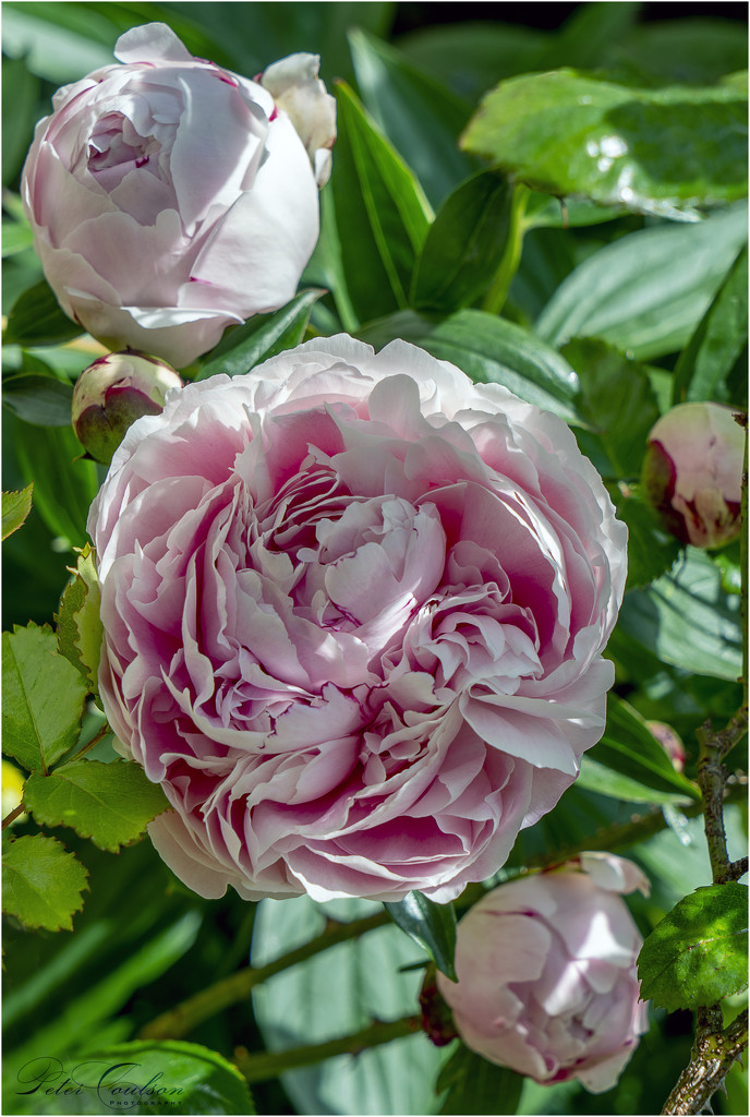 Pink Peonies by pcoulson