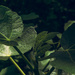Fig leaves
