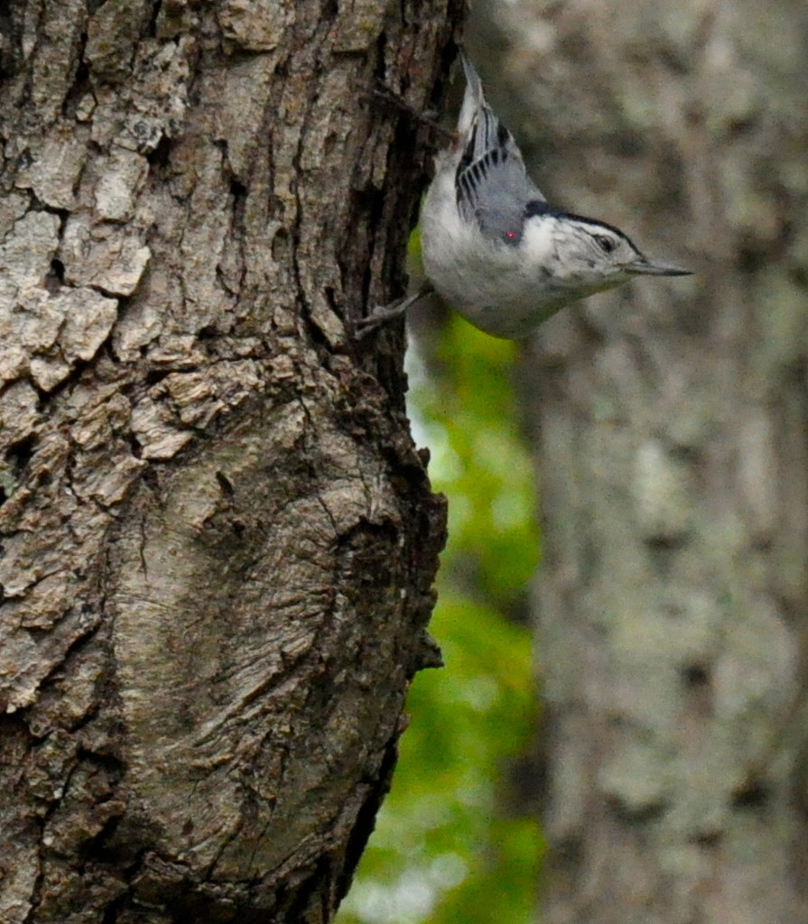 White-Breasted Nuthatch by sailingmusic