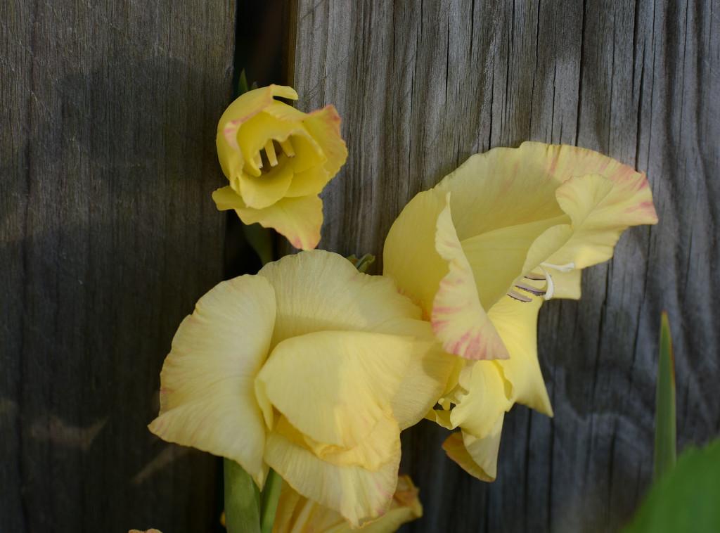 yellowglad by homeschoolmom