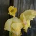 yellowglad