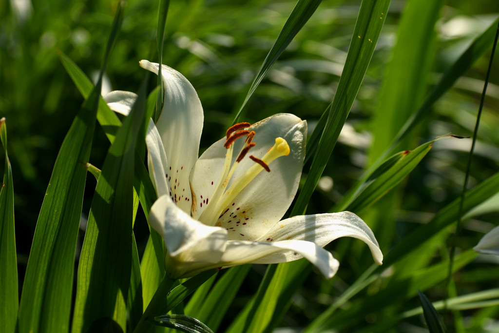 Golden Hour Lily by homeschoolmom