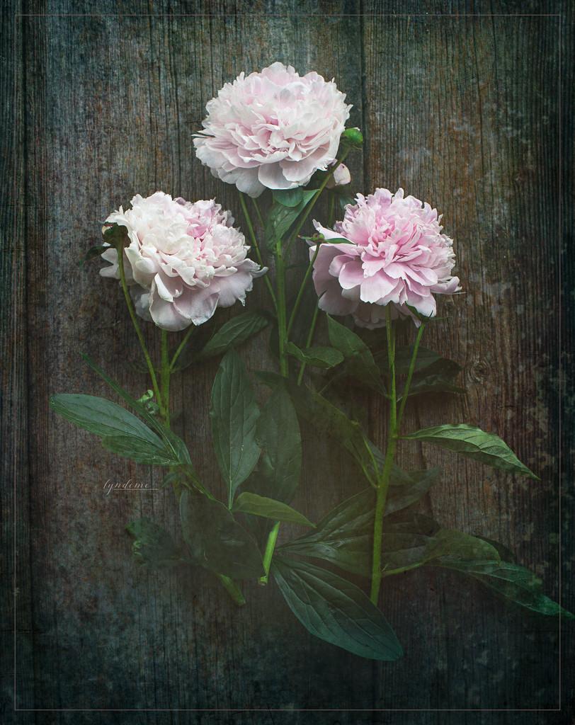 Trio by lyndemc