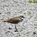 Killdeer on the path