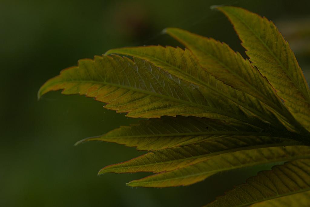 Sumac Leaves by farmreporter