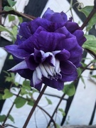 31st May 2020 - Clematis