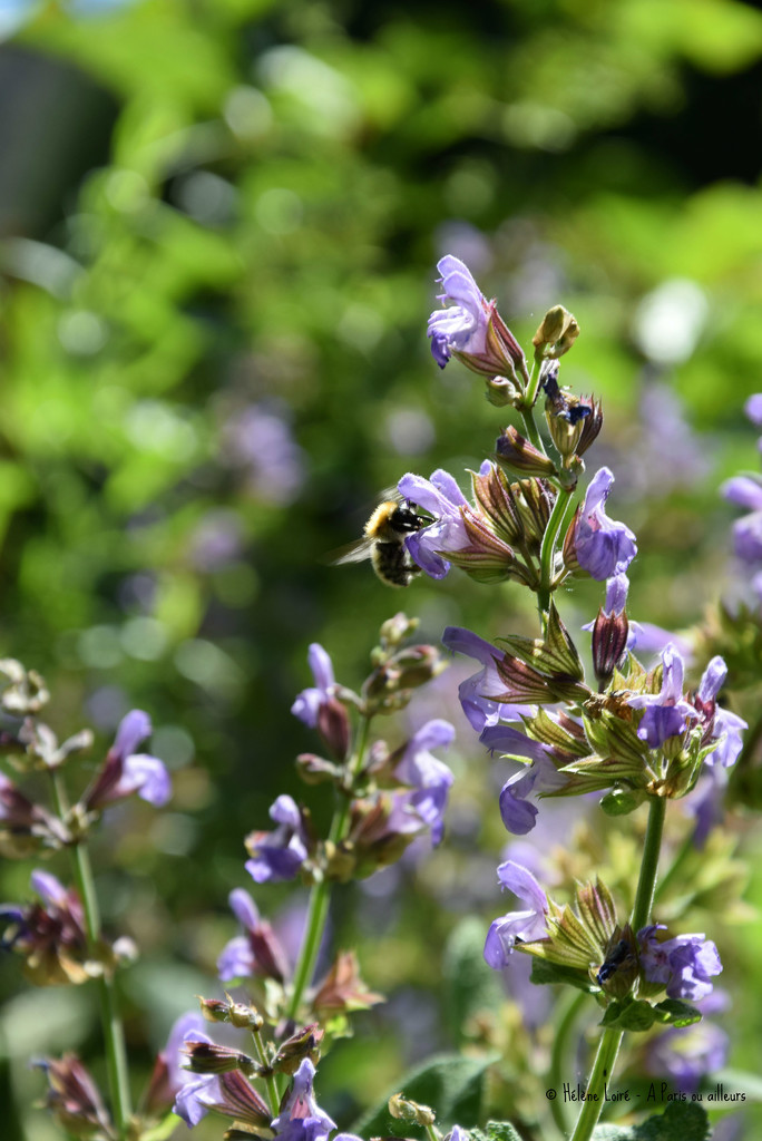bumblebee in sage by parisouailleurs