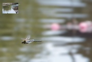 2nd Jun 2020 - Dragonfly and Lily Pads
