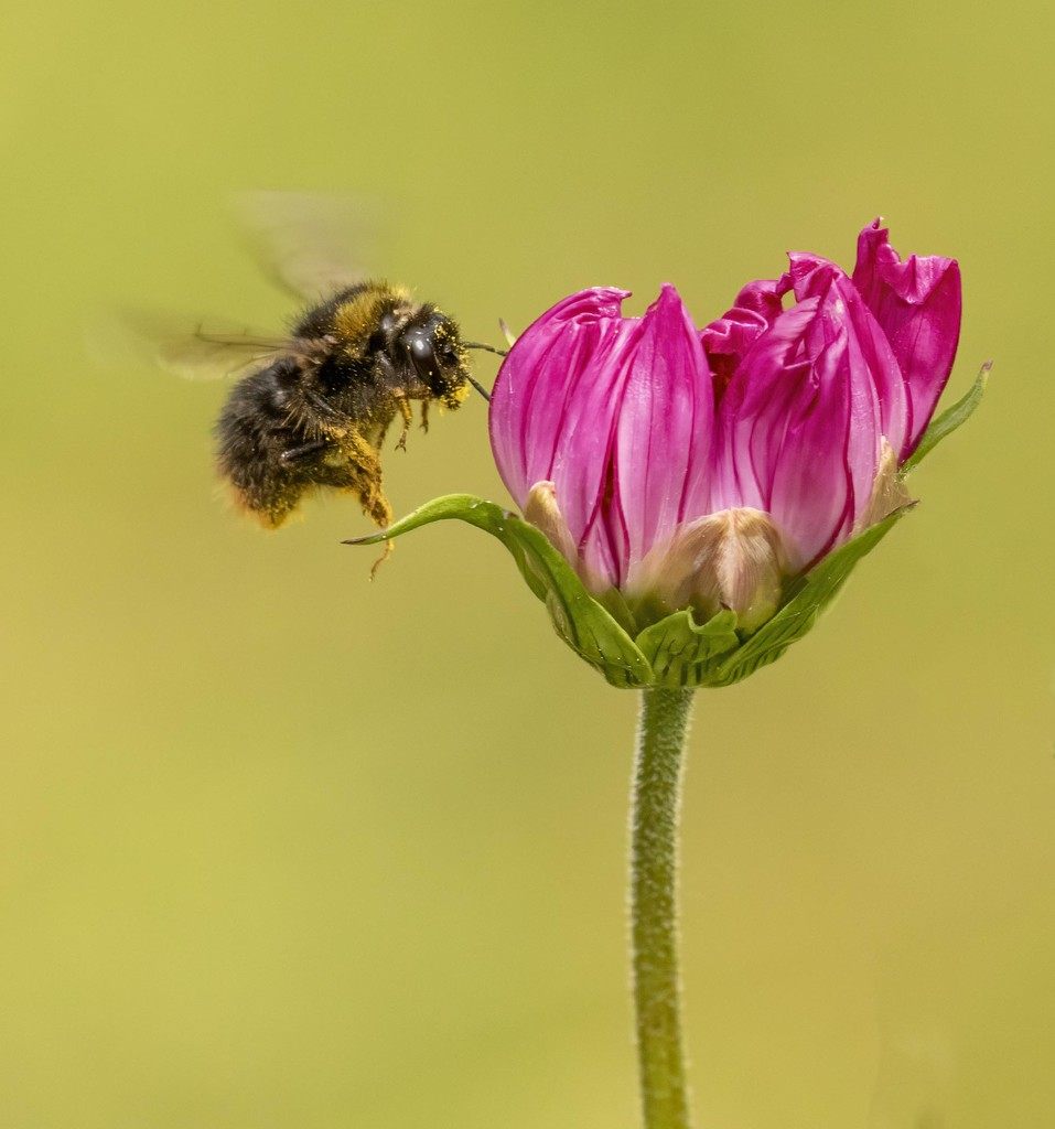 Cosmos and Bee  by shepherdmanswife