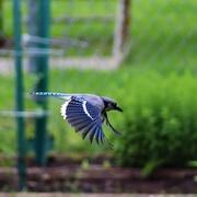 4th Jun 2020 - Blue Jay In Flight
