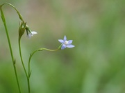 3rd Jun 2020 - Tiny Curves - Wahlenbergia, Asian Rockbell, Asiatic bellflower