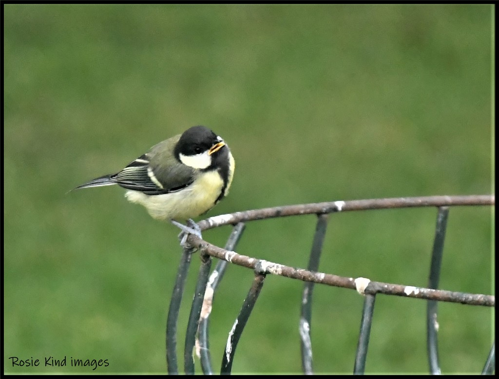 RK3_7805 Young great tit by rosiekind