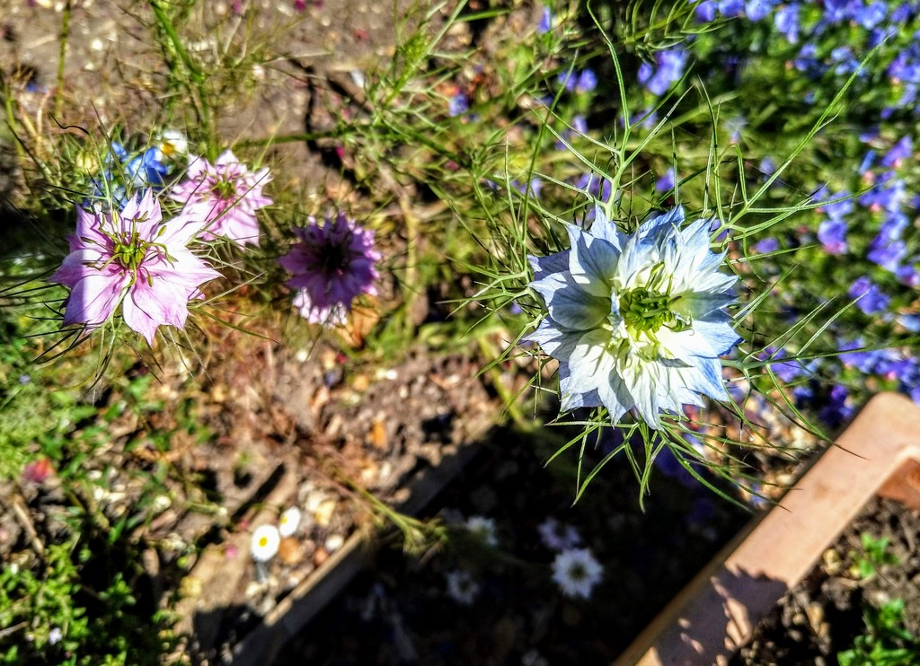 Love-in-a-mist by boxplayer
