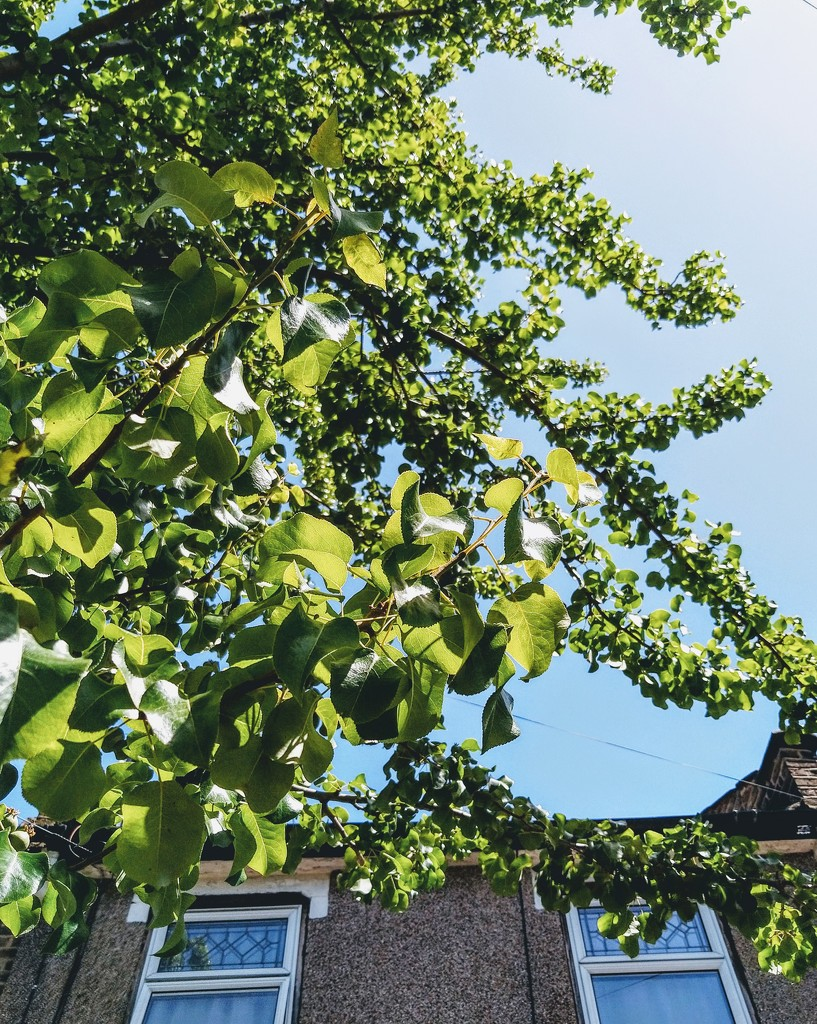 Chanticleer pear or Callery pear tree by boxplayer