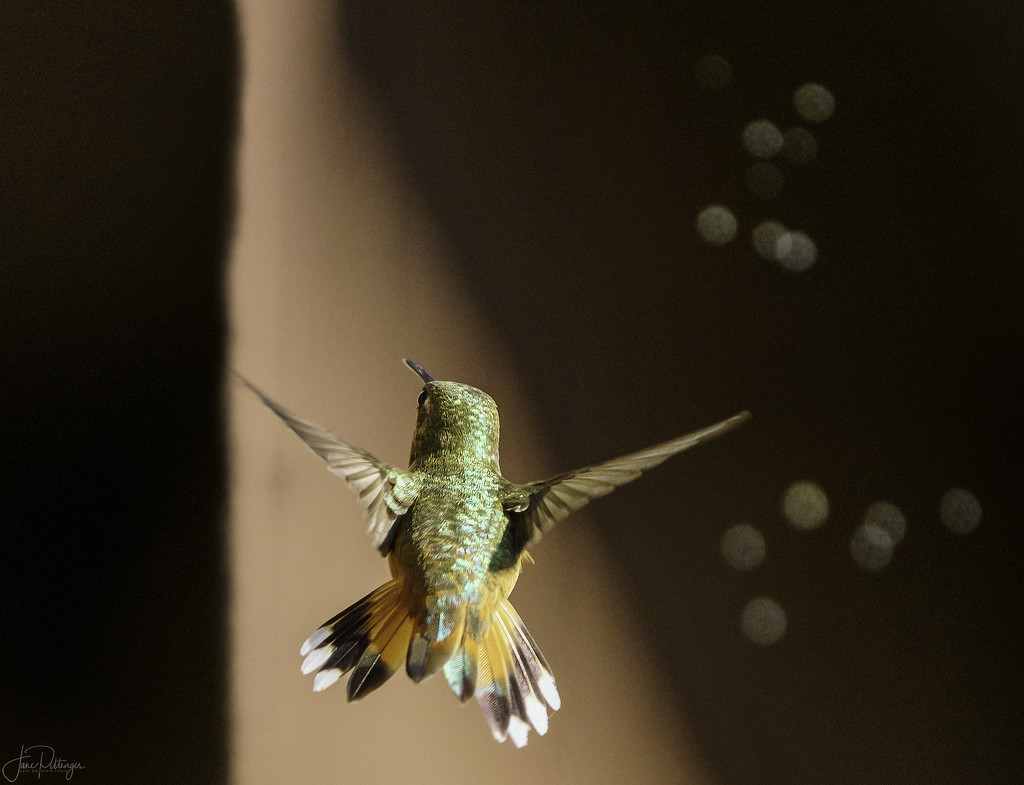 Rufous Fly Away by jgpittenger