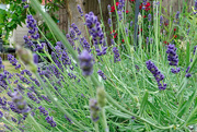 30th May 2020 - Lavender in my garden