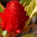 Red Celosia