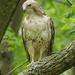Red-tailed Hawk by annepann