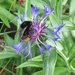 big red-tailed bumble bee