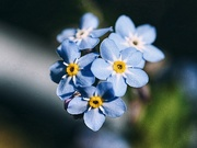 3rd Jun 2020 - Forget me not