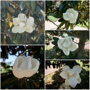 4th Jun 2020 - Magnolia Season