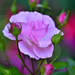 LEW_3565 - My Kinda Pink #32 by mbrutus