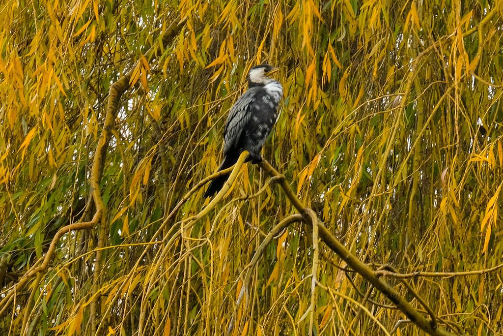 Autumn shag (cormorant) by maureenpp