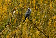 4th Jun 2020 - Autumn shag (cormorant)