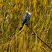 Autumn shag (cormorant)