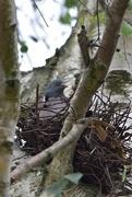3rd Jun 2020 - a turkish lovebird on the nest