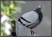 4th Jun 2020 - Hello, I'm a Rock Dove