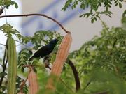 4th Jun 2020 - Purple Sunbird