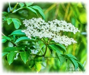 4th Jun 2020 - Blossom