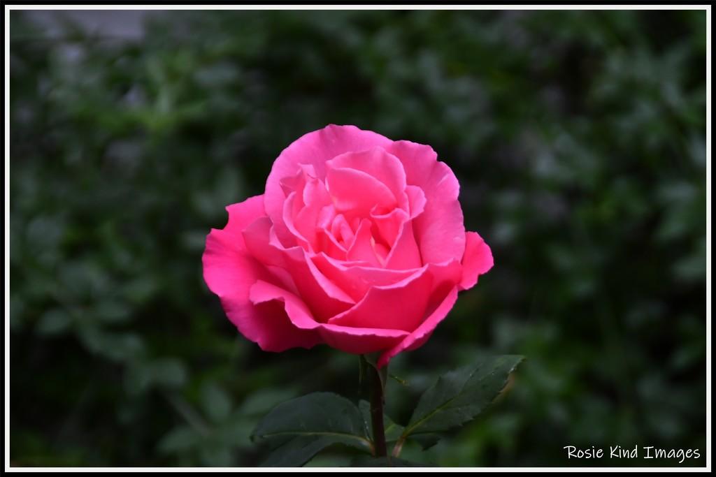 RK3_7829 Beautiful rose by rosiekind