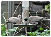 4th Jun 2020 - RK3_7825 Collared doves