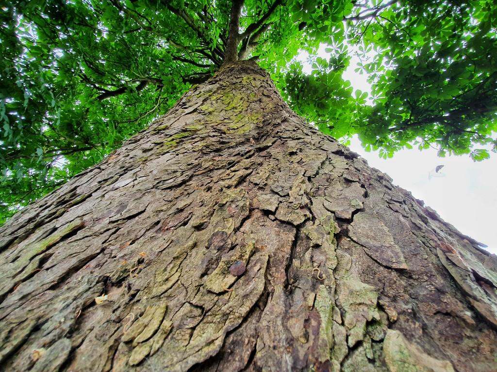 Tall tree  by isaacsnek