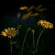 4th Jun 2020 - Arnica in the Sunlight
