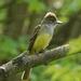 Great Crested Flycatcher by annepann