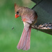 Female Cardinal by lsquared
