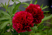 4th Jun 2020 - Red Peonies