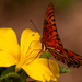 Gulf Fritillary Butterfly Sipping the Nectar!