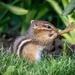 The Chipmunk Bugler by jyokota
