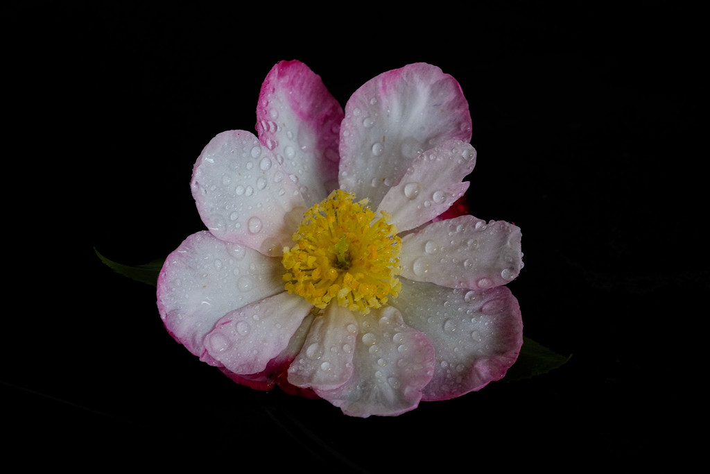 Camellia after drizzle by maureenpp