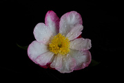 5th Jun 2020 - Camellia after drizzle