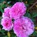 Roses, Hampton Park Gardens
