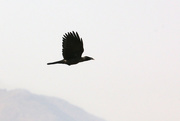 5th Jun 2020 - House Crow