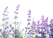 22nd May 2020 - Lavender